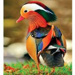 Copia de pato mandarin
