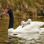 cisne cuello negro 2