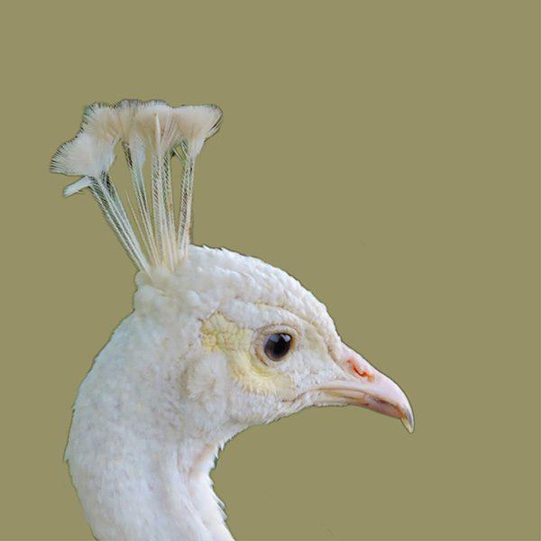 pavo real blanco